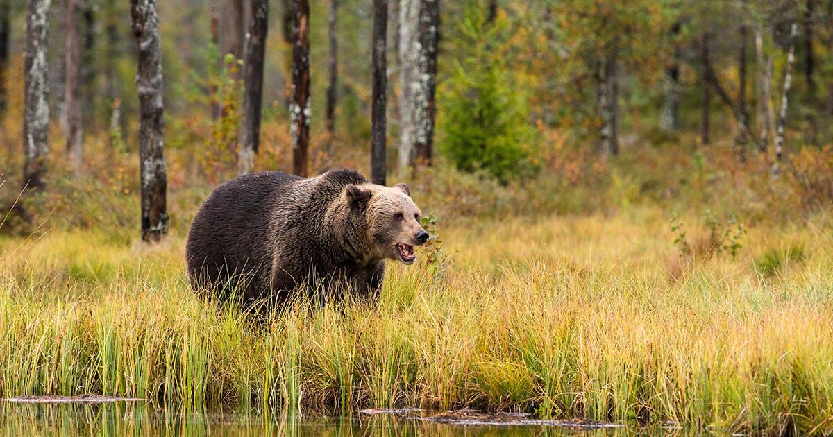 Čo robiť, ak stretnete v lese medveďa